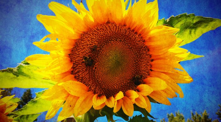 Sunflower Sonata